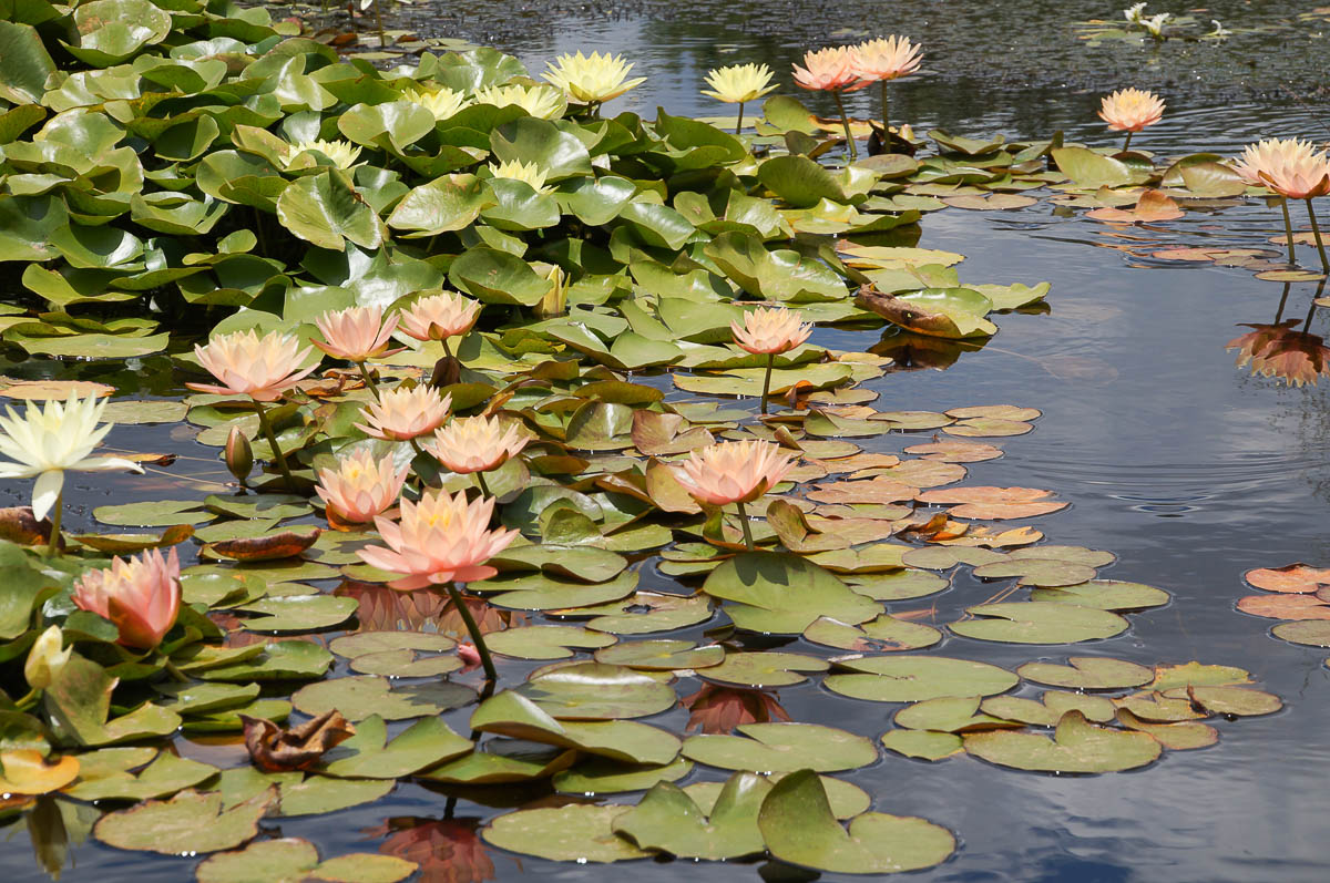 Rose water lillies in Babylonstoren