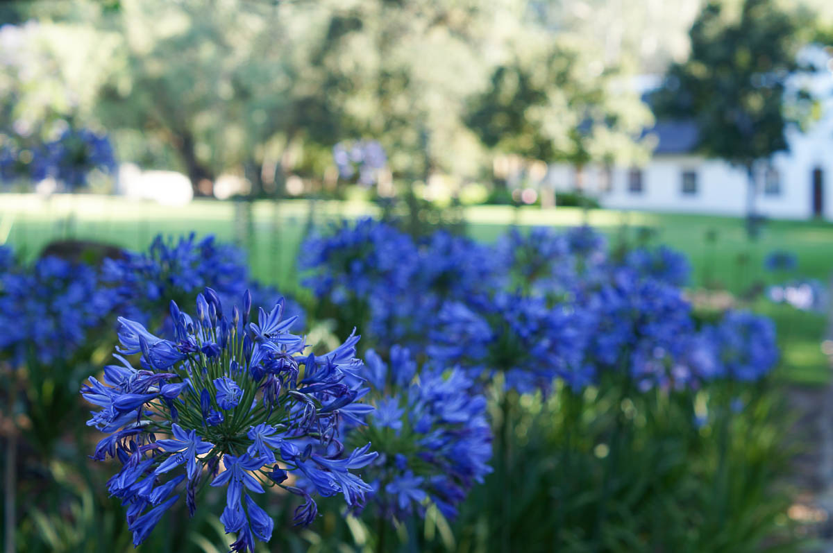 blue flowers in Blaauwklippen garden