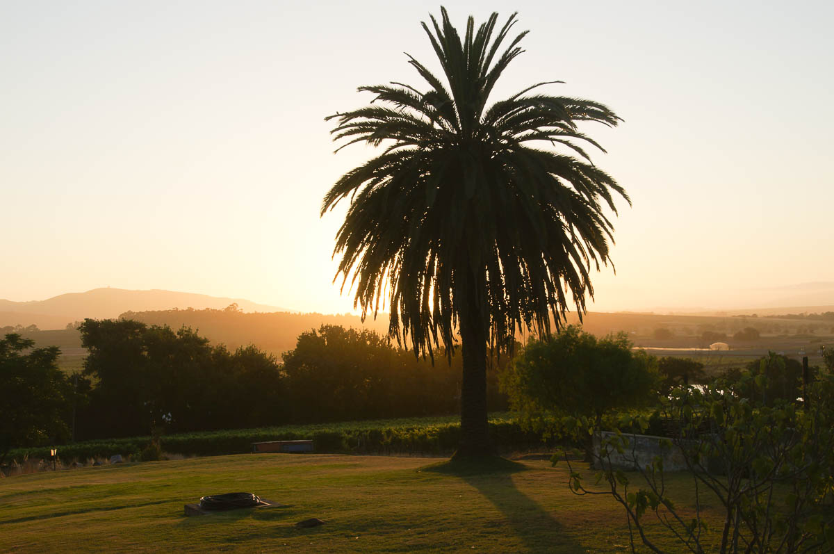 pamtree in sunset atmosphere Stellenbosch