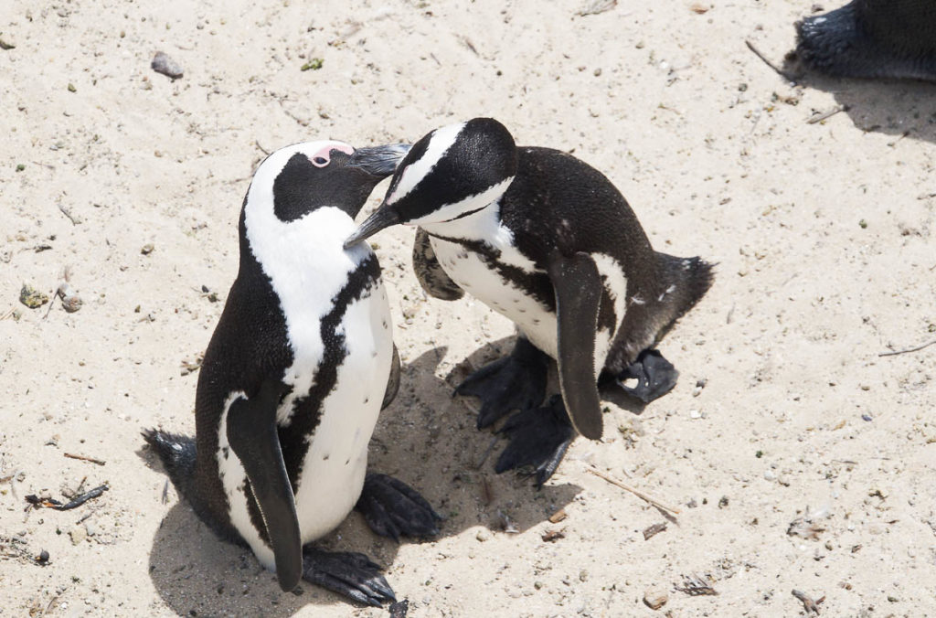 two pinguins taking care of each others