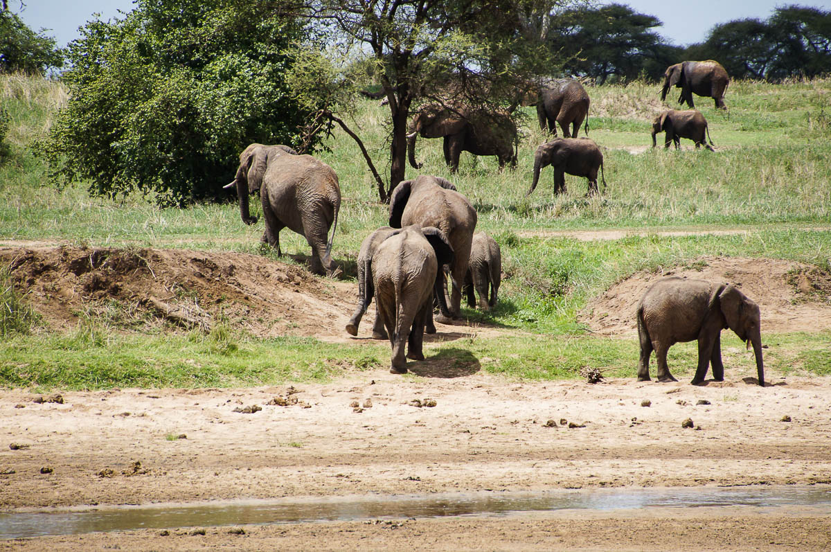 elephants at water hole Tarangire Nationalpark