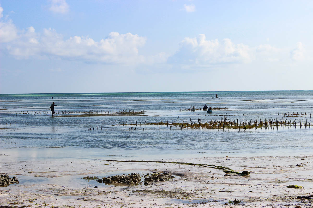 women in water harvesting seagrass Jambiani Zanzibar