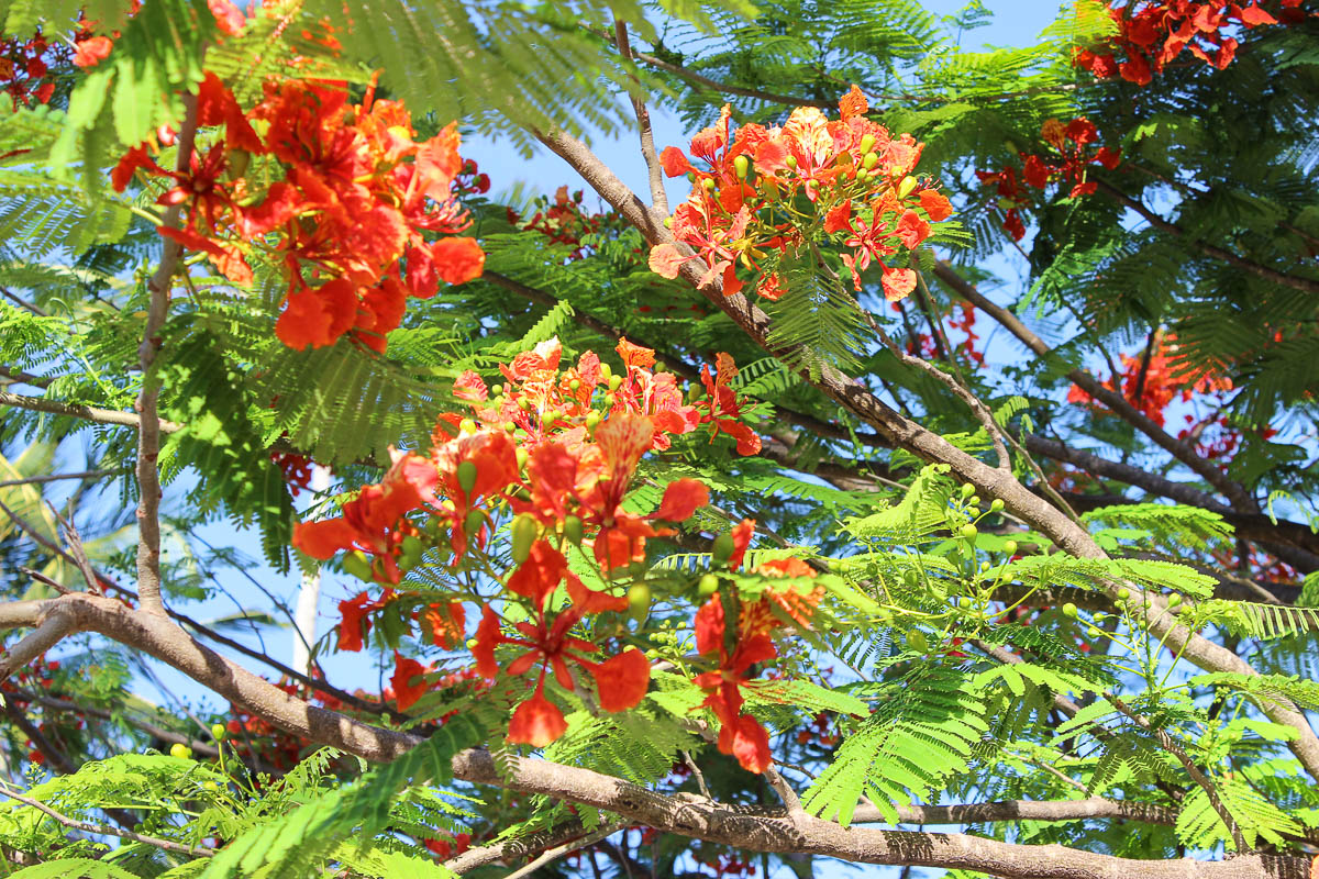 red flower tree Zanzibar