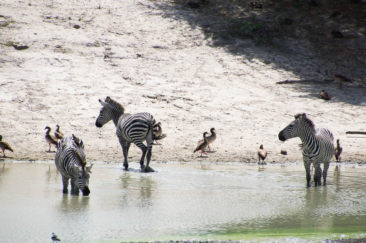 zebras in water Tarangire Nationalpark